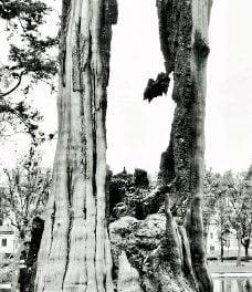 El árbol de los cien años