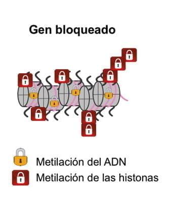 Epigenética: activación y desactivación de genes